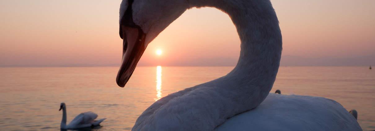 Sonnenuntergang mit Schwan in Lazise