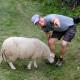 Schafe bei Borgund