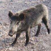 Wildschweine im Esterel-Gebirge