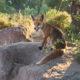 Fuchs im Esterel-Gebirge
